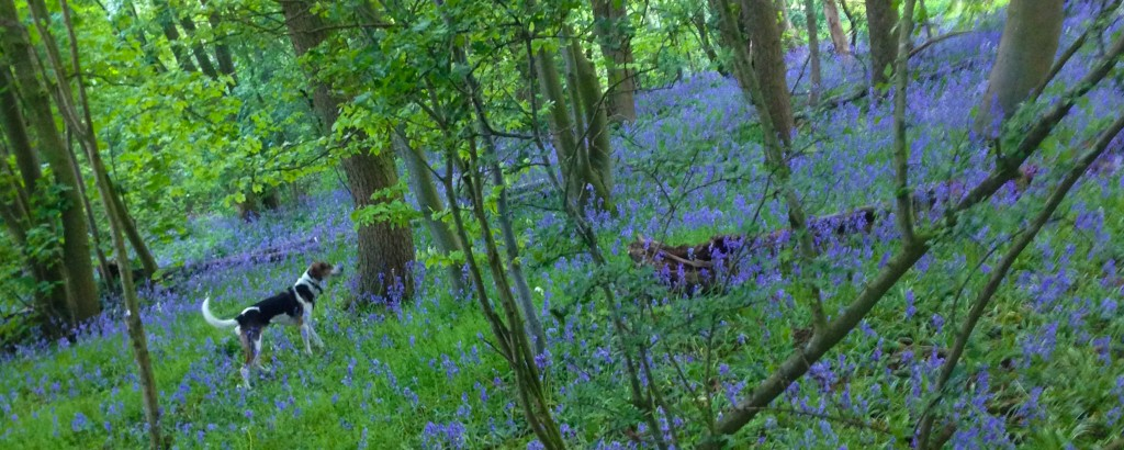 swalcliffe woods and blue bells
